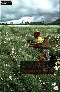 PYRETHRUM HARVEST, Virungas, Rwanda