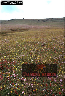 Fields of Wild Flowers, Near Vejer De La Frontera, Andalusia, Southern Spain