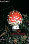 Fungus: FLY AGARIC, Surrey, England