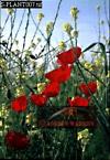 POPPY (Papaver hybridum), Galilee, Israel, 1987