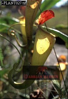 PITCHER PLANTS (Nepenthes sp.), Southern Madagascar
