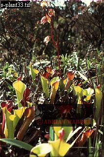 SARRACENIACEAE (Heliamphora heterodoxa), Auyantepui Summit