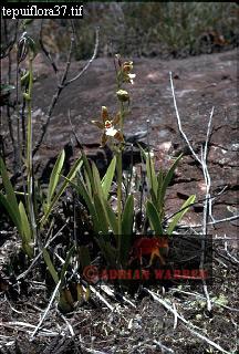 Orchid, Auyantepui Summit
