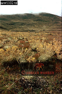 High Mountain Flora, Venezuelan Andes
