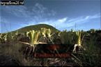 BROMELIACEAE (Brocchinia hechtioides), Autana Summit