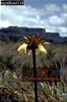 Orectanthe sceptrum