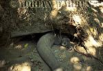 Komodo Dragon (Varanus komodoensis) in burrow, Komodo Island, Indonesia