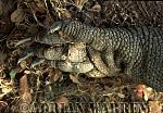 Komodo Dragon (Varanus komodoensis) foot, Komodo Island, Indonesia