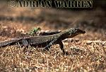 Komodo Dragon (Varanus komodoensis) juvenile, Komodo Island, Indonesia