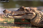 SPECTACLED CAYMAN (Caiman crocodilus), Llanos, Venezuela, 1994