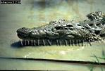Nile Crocodile (Crocodylus niloticus), Zululand, South Africa