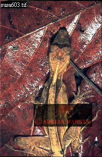 Anolis LIZARD (Anolis chrysolepis planiceps), Guyana
