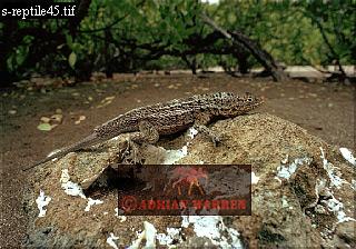 Lava LIZARD (Tropidurus albemarlensis), Galapagos, Ecuador