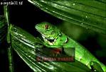 Common IGUANA (Iguana iguana): Juvenile, Costa Rica