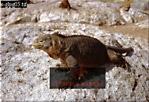 LAND IGUANA (Conolophus subcristatus), Santa Cruz, Galapagos, Ecuador, 1972
