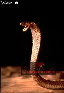 Egyptian COBRA (Naja haje), Africa