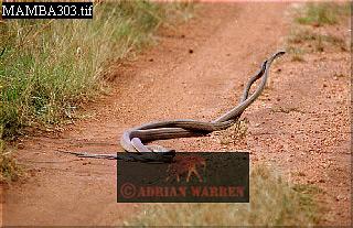 Black Mambas (Dendroaspis polylepis): Males in combat, Akagera National Park, Rwanda