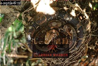 BOA CONSTRICTOR (Constrictor constrictor) on old storks nest, Llanos, Venezuela