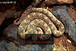 SAW- SCALED VIPER (Echis carinatus)