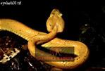 EYELASH PITVIPER (Bothriechis schlegelii), Costa Rica, Central America
