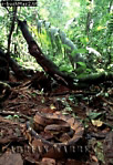 BUSHMASTER (Lachesis muta stenophrys), Costa Rica, Central America