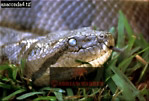 ANACONDA (Eunectes murinus) South America