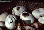 Monocled COBRA (Naja kaouthia): babies hatching, Thailand