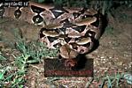 BOA CONSTRICTOR (Constrictor constrictor), Llanos, Venezuela
