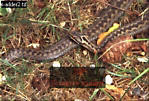 ADDER (Vipera berus) : Female with Juvenile New Forest, Hampshire England