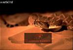 RATTLESNAKE (Crotalus sp.), USA