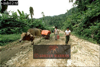 ROAD TRANSPORT by OX, Halmahera, Moluccas, Indonesia, 1985