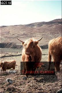 HIGHLAND CATTLE, Rhum, Hebrides, Scotland