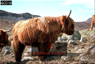 HIGHLAND CATTLE, Rhum, Hebrides, Scotland