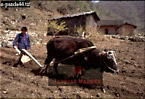 Traditional PLOUGHING, Village of HUAYAN, Qinling Mts., Shaanxi, China, 1993