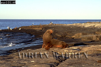 Australian Sea Lion (Neophoca cinerea)