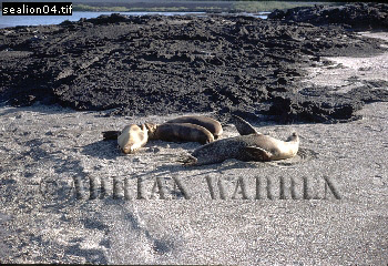 SEA LIONS (Zalophus californicus wollebaeki), P.Espinosa, Fernandina, Galapagos, Ecuador