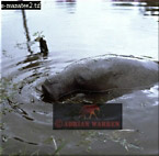 West Indian MANATEE (Trichechus manatus), Demerara Area, Guyana
