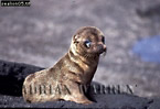SEA LIONS (Zalophus californicus wollebaeki), Plaza Island, Galapagos, Ecuador