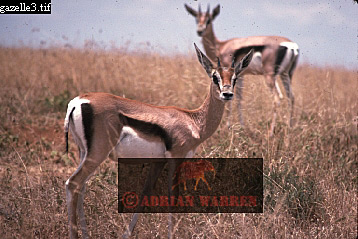 Thomson's GAZELLE (Gazella thomsonii), Nairobi National Park, Kenya