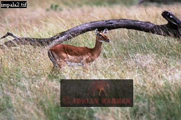 IMPALA (Aepyceros melampus), Masai Mara, Kenya