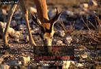 SPRINGBOK (Antidorcas marsupialis), Etosha National Park, Namibia