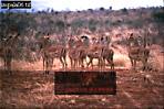 IMPALA (Aepyceros melampus), Tsavo West, Kenya