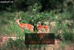 IMPALA (Aepyceros melampus), Akagera National Park, Rwanda, 1991