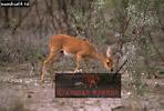STEENBOK (Raphicerus campestris), Etosha National Park, Namibia