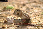 CAPE GROUND SQUIRREL (Xerus inauris), Etosha National Park, Namibia