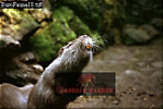 ALPINE MARMOT (Marmota marmota), Goldhau, Switzerland