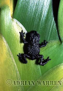 Black Frog (Oreophrynella quelchii), Roraima Summit, Venezuela