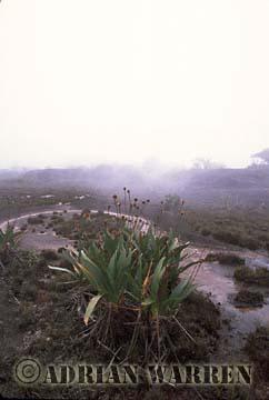 Stegolepis guianensis, Roraima Summit, Venezuela