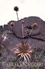 Orectanthe sceptrum, Roraima Summit, Venezuela
