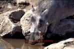 WARTHOG (Phacochoerus aethiopicus), Etosha National Park, Namibia